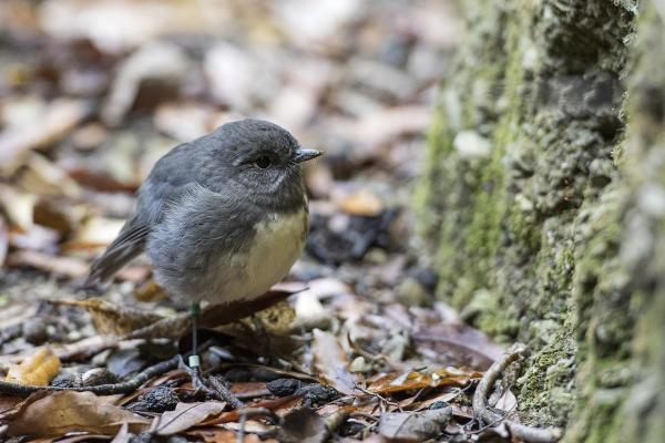 Gallery  - South Island Robin - Photo provided by Rachel Russell, Kaipupu Point Wildlife Sancutary